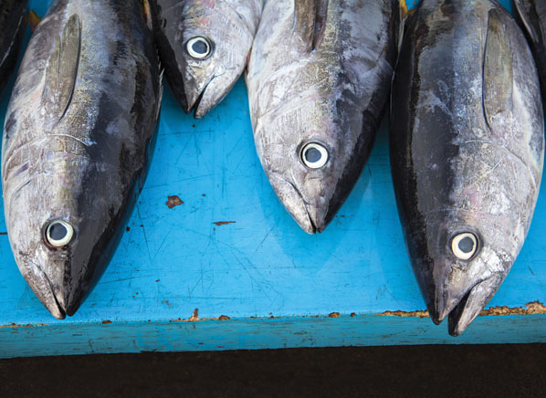 Low mercury and high mercury fishes consumer reports for What do tuna fish eat