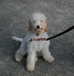 Portuguese Water Dog, Labradoodle vie for key White House post